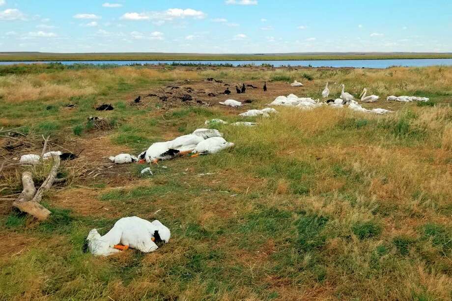This Aug. 11, 2019, photo provided by Montana Fish, Wildlife and Parks shows the carcasses of pelicans and double-crested cormorants killed during a hailstorm with winds up to 70 mph at Big Lake Wildlife Management Area, west of Molt, Mont. State wildlife officials say more than 11,000 birds were killed or maimed in the storm. (Courtesy of Montana Fish, Wildlife and Parks via AP) Photo: Associated Press / Montana Fish, Wildlife and Parks