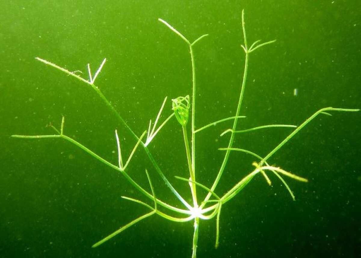 Invasive starry stonewort is spreading to lakes across Michigan, often carried by boats and trailers moving from lake to lake. (Courtesy photo/Scott Brown)