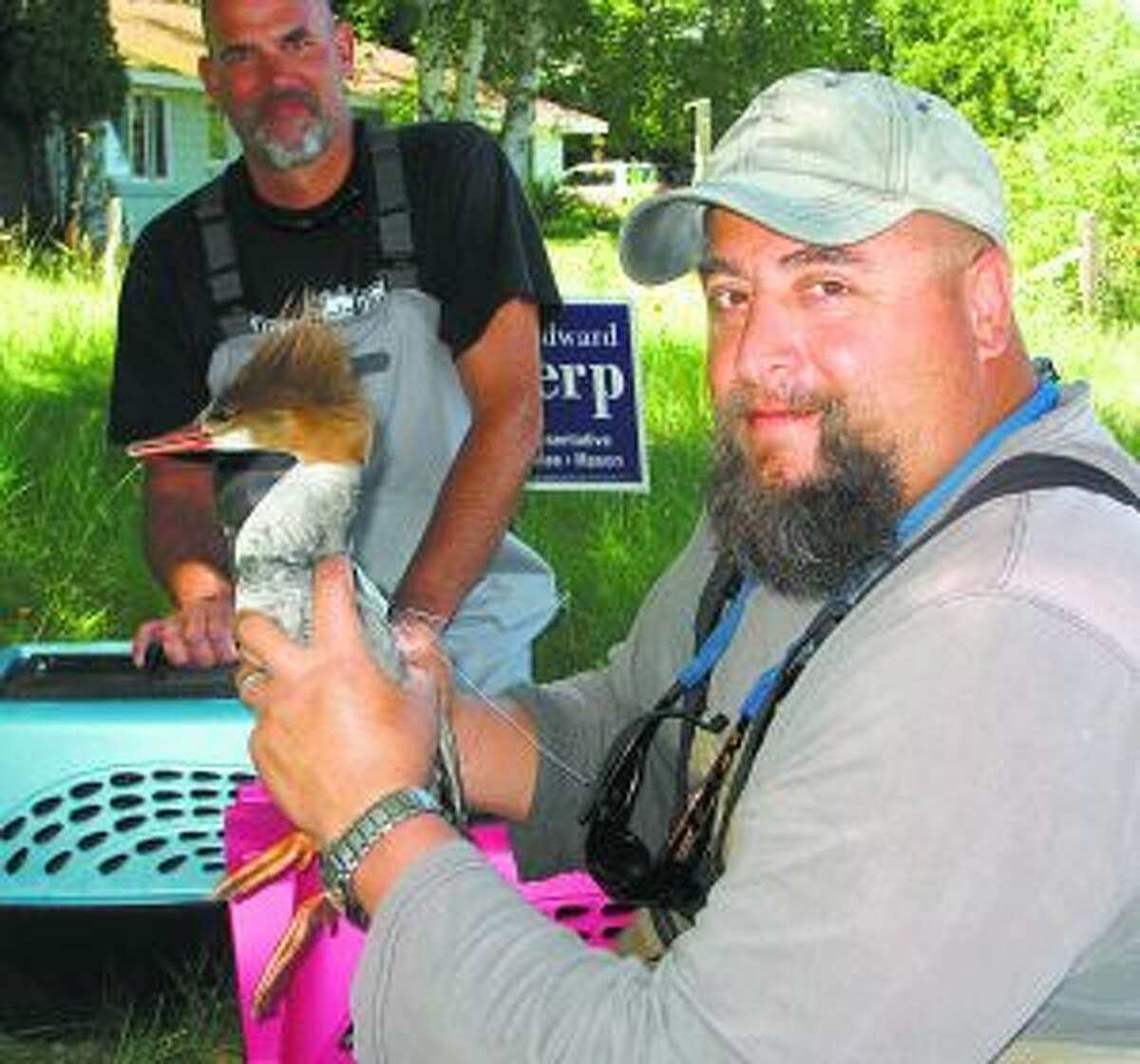 Tom Thorr (back) and Tim Reznich (front) catch mergansers for the Crystal Lake and Watershed Association as part of an effort to reduce swimmer's itch in Crystal Lake.