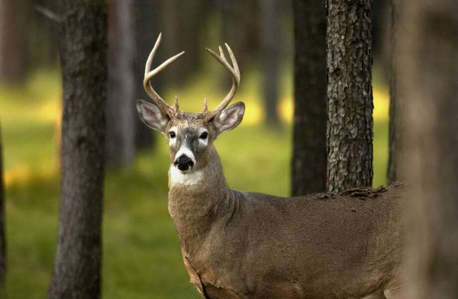 A series of deer regulations have been passed aimed at slowing the spread of chronic wasting disease. (Courtesy photo)