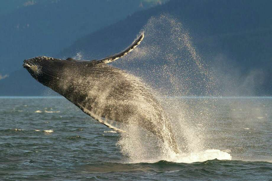 An adult humpback whale breaches in Lynn Canal near Juneau, Alaska. Photo: Associated Press / ONLINE_YES