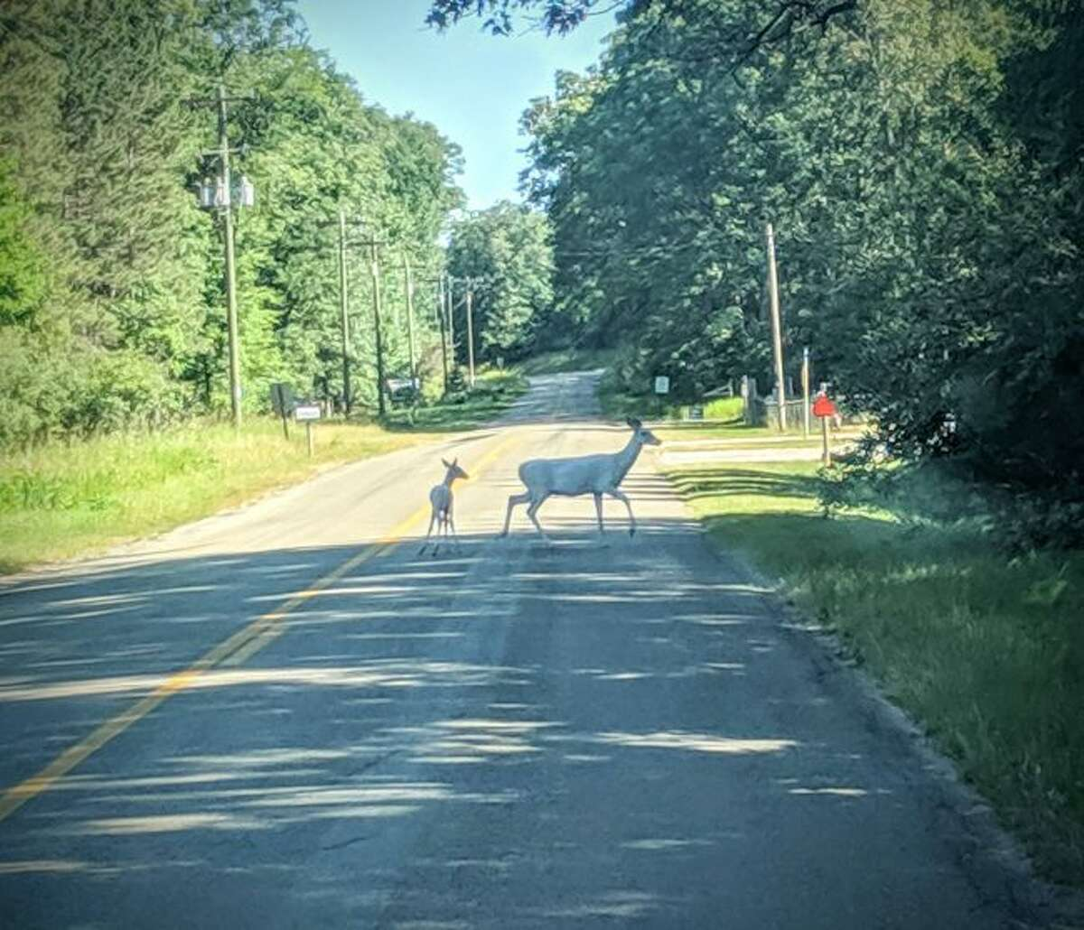 Rare albino doe and fawn stop traffic near the Manistee National Forest. (Tony Evans/Courtesy Photo)