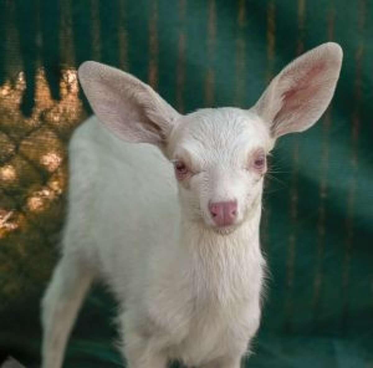 An albino fawn, who was rescued by a trucker in Woodland, California is cared for at the Kindred Spirits Fawn Rescue Thursday, May 30, 2019 in Loomis, California. She will be released back into the wild in the fall, after hunting season. (Lezlie Sterling/The Sacramento Bee via AP)