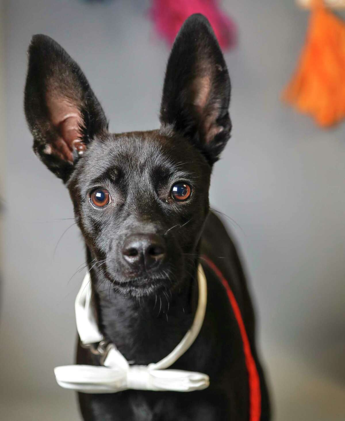 Marcos is a 6-month-old, male, Fox Terrier mix available for adoption at the Harris County Animal Shelter, in Houston. (Animal ID: A532727) Photographed Tuesday, August 20, 2019. Marcos is a lovebug. He was originally adopted as a young puppy from the shelter, but this 22 pound guy was returned because he was