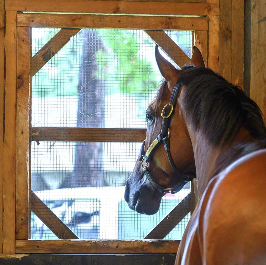 Travers entrant Chess Chief relaxes in his stall and checks out his surroundings Wednesday August 21, 2019 on the Oklahoma Training Center track in Saratoga Springs, N.Y. Photo Special to the Times Union by Skip Dickstein