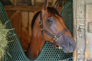 Travers entrant Chess Chief relaxes in his stall Wednesday August 21, 2019 on the Oklahoma Training Center track in Saratoga Springs, N.Y.  Photo Special to the Times Union by Skip Dickstein