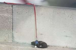 The six-year-old cat, temporarily named Tenzing by SFACC, was rescued from the Bay Bridge on Aug. 20.