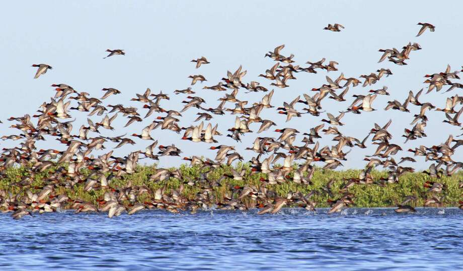 This spring's annual aerial survey of ducks on northern nesting grounds estimated the abundance of redhead ducks, a large percentage of which winter on Texas' coastal bays, declined 27 percent from 2018 but remains at the long-term (63-year) average. Photo: Shannon Tompkins / Houston Chronicle