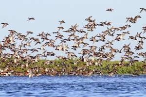This spring's annual aerial survey of ducks on northern nesting grounds estimated the abundance of redhead ducks, a large percentage of which winter on Texas' coastal bays, declined 27 percent from 2018 but remains at the long-term (63-year) average.