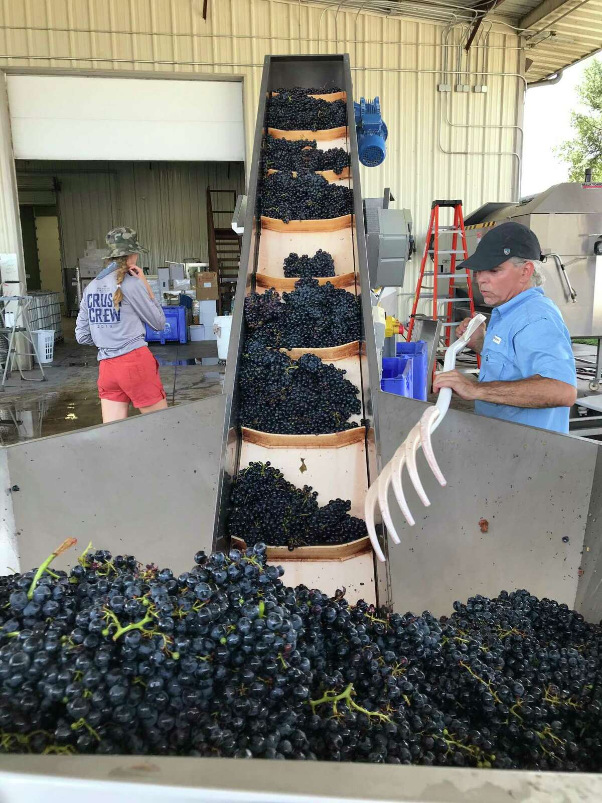 Destemming Tempranillo grapes at Bending Branch Winery in Comfort, Texas.