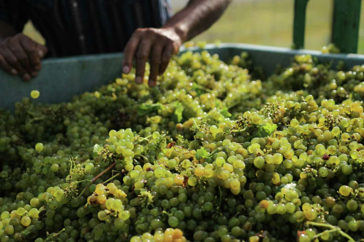 Brennan Vineyards' Viognier grames in Comanche County.