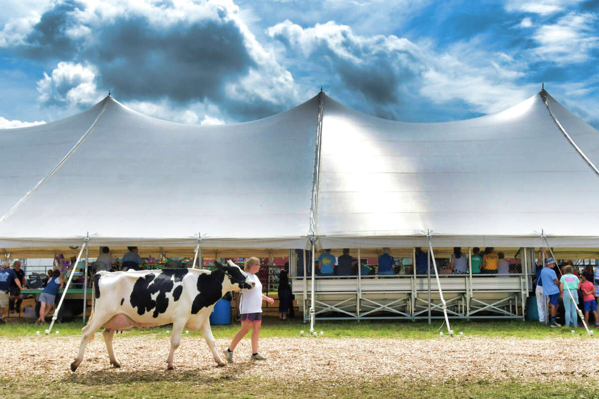 Kristi Trinkle with Trinkle Farms in Buskirk walks one of their cows outside the tent before showing in the open class dairy competition at the Washington County Fair on Thursday, Aug. 22, 2019, in Greenwich, N.Y. (Paul Buckowski/Times Union)