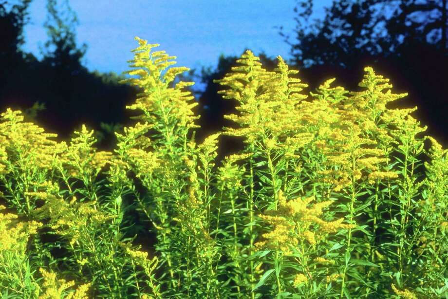 Goldenrod starts blooming in mid-August. Photo: Jupiterimages / Www.jupiterimages.com / (C) 2006 Hemera Technologies