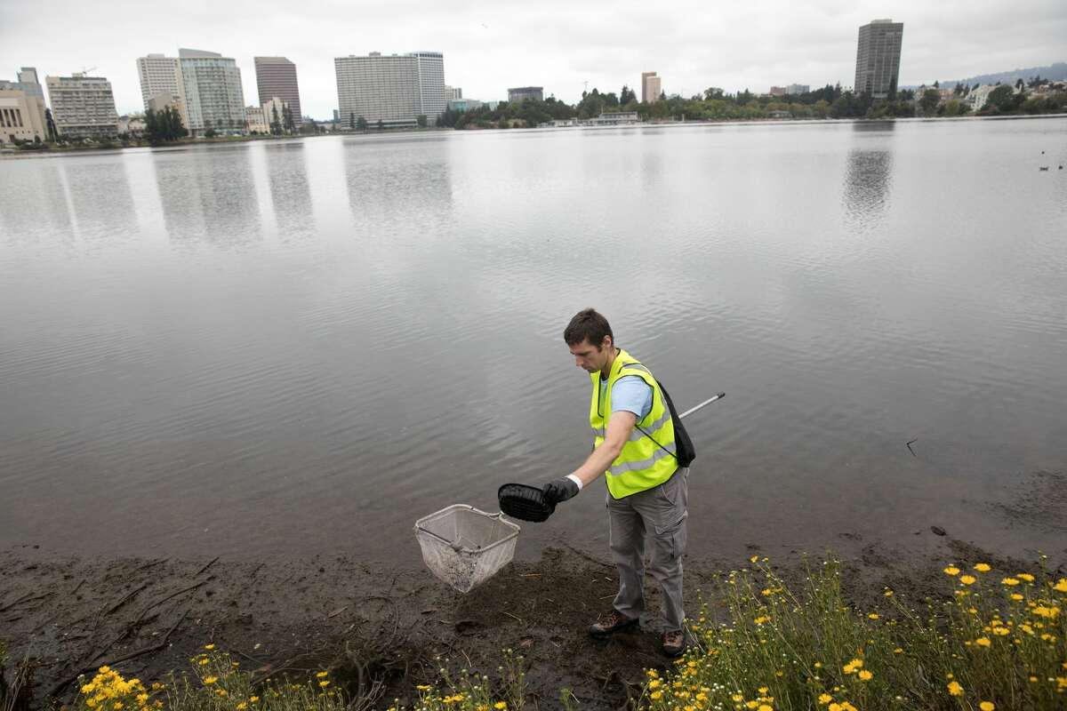 Guy Struve of Albany clears the shoreline of trash on Lake Merritt close to 18th Street in Oakland, Calif. on August 20, 2019. Twice a week volunteers with the Lake Merritt Institute clean the shoreline of the lake.