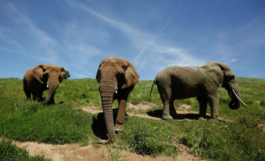 In this Friday April 26, 2019 photo three African elephants, Maggie, left, Lulu, center and Toka roam through the Performing Animals Welfare Society's ARK 2000 Sanctuary near San Andreas, Calif. The more than 2,000 acre sanctuary was built more than a decade ago to provide a more natural environment to animals that have spent years displayed at zoo's or forced to perform at circuses.(AP Photo/Rich Pedroncelli) Photo: Rich Pedroncelli / Associated Press / Copyright 2019 The Associated Press. All rights reserved