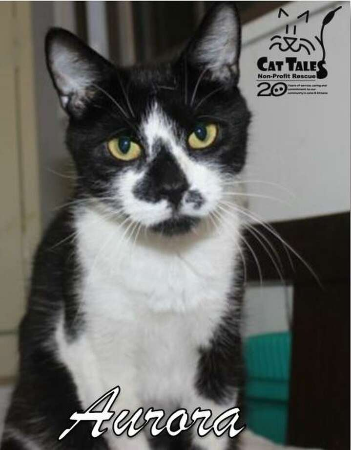 "Aurora is a pretty 3-year-old black and white girl, who's waiting for a home of her own. She says, ""I'm a very sweet, loving, loyal kitty who loves to be in the company of people. While Cat Tales takes very good care of me, I want to be in a home of my own. I love affection and playing and like to be held and sit on laps when I'm in the mood. If you are looking for a cuddly and loving kitty, please come adopt me.""Visit http://www.CatTalesCT.org/cats/aurora, call 860-344-9043, or email: info@CatTalesCT.org. Watch our TV commercial: https://youtu.be/Y1MECIS4mI Photo: Contributed Photo"