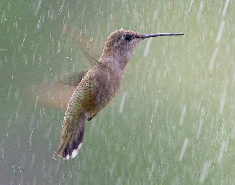 Birds, like this black-chinned hummingbird, will fly through a sprinkler to cool-off in the summer heat. Photo Credit: Kathy Adams Clark Restricted use.