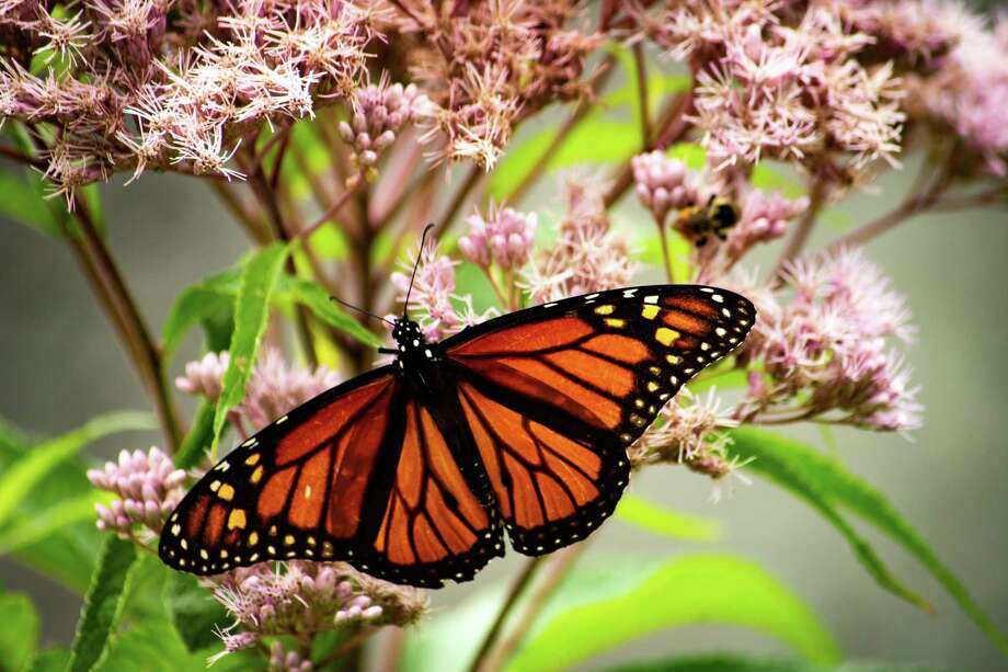 Click through the slideshow for photos of wildlife captured by readers in the Capital Region.Kate Morrow found this beautiful Monarch enjoying a gorgeous day at Dyken Pond.