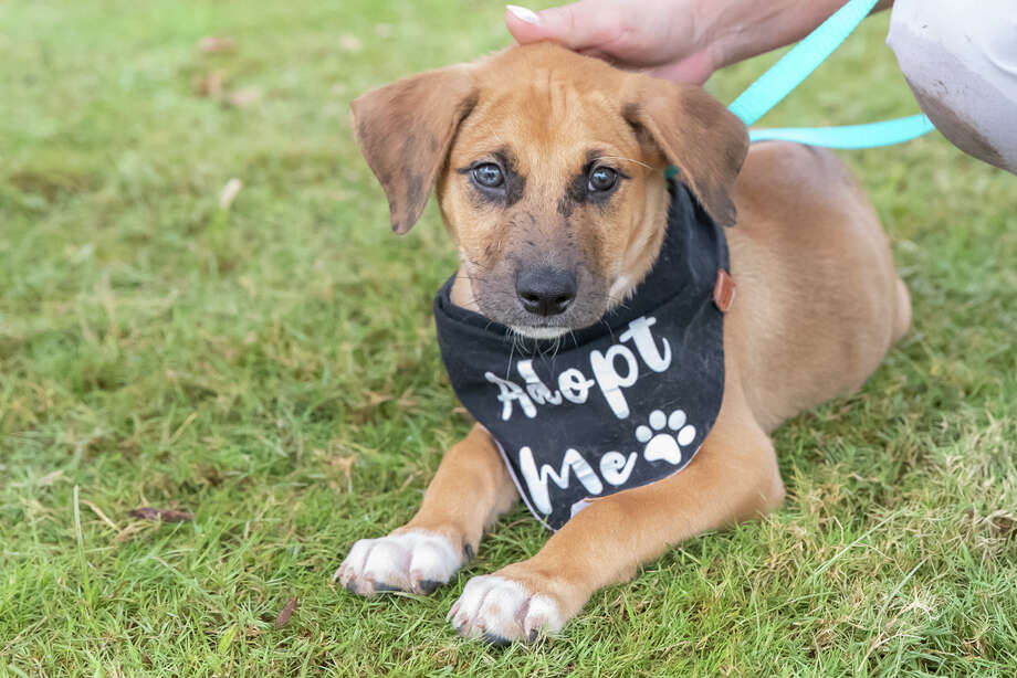 """SNIPSA (Spay-Neuter-Inject-Protect San Antonio) is hosting its """"Winter Puppy Brunch"""" from 10 a.m. to 1 p.m. Saturday at Snooze, an A.M. Eatery (Vineyard location) at 1305 N. Loop 1604 West. This a photo from SNIPSA's adoption event at Snooze on Saturday, Aug. 24, 2019. Photo: Joel Pena / Joel Marcos Pena Jr."""