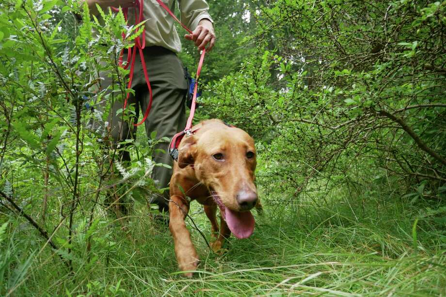 Dia, a Labrador retriever, uses her sense of smell to find Scotch broom, an invasive species, in Harriman State Park in Tuxedo, N.Y., Tuesday, Aug. 6, 2019. The nonprofit New York-New Jersey Trail Conference has trained Dia to find Scotch broom plants in two state parks 50 miles (80 kilometers) north of New York City. The invasive shrub is widespread in the Pacific Northwest but new to New York, and land managers hope to eradicate it before it gets established.  (AP Photo/Seth Wenig) Photo: Seth Wenig / Copyright 2019 The Associated Press. All rights reserved.