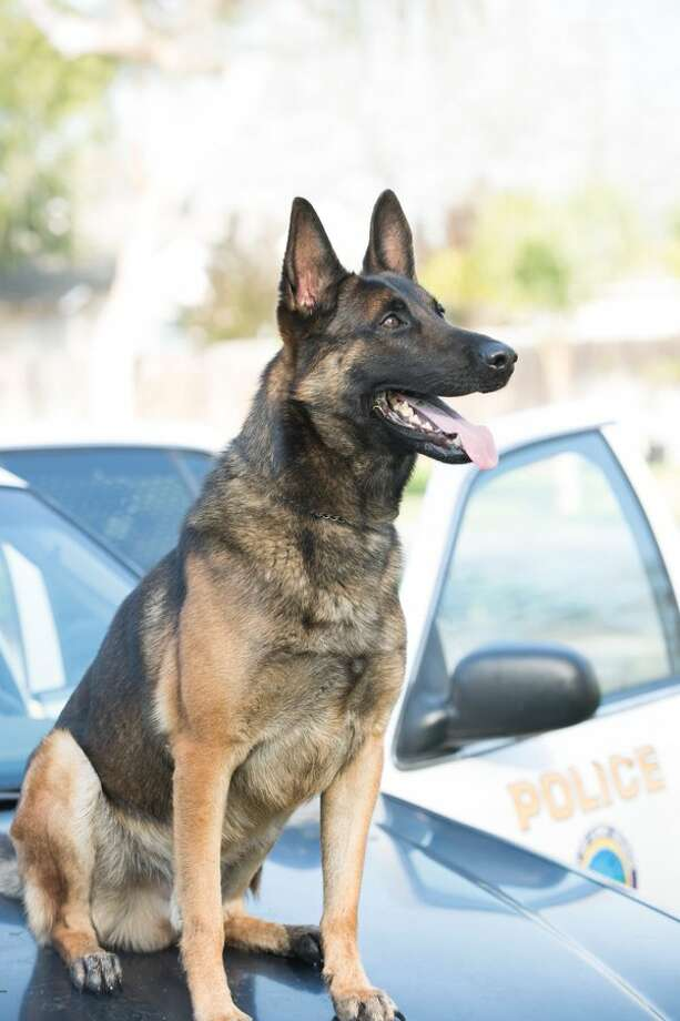 Ozzy the K-9 died in Long Beach due to heat-related causes, police said. Photo: Long Beach Police Department