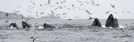In a rare and amazing moment, five humpbacks emerged through the sea surface simultaneously in a lunge feeding event at the Southeast Farallon Island