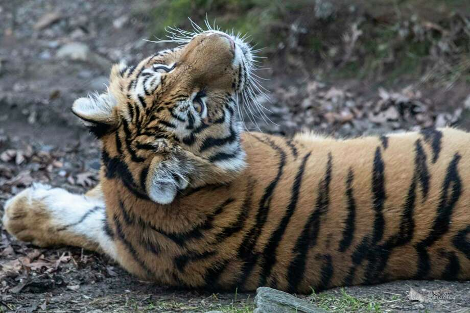 Changbai, a female tiger who came to Connecticut's Beardsley Zoo in January 2017 is scheduled to leave the zoo on Aug. 28, 2019. Photo: Jack Bradley/Connecticut's Beardsley Zoo / Contributed