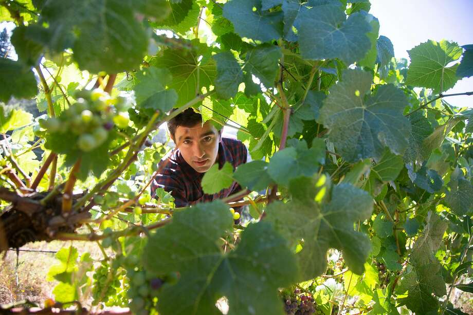 "Winemaker Ryan Stirm checks on the vines at the vineyard that he and other winemakers lease in the Santa Cruz mountains near Scotts Valley, California on Friday, 8/17, 2019. A group of four young ""natural"" winemakers have started an unusual sort of co-op at their winery near Aromas. Photo: Patrick Tehan / Special To The Chronicle"