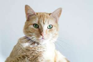Peach is a 1 1/3-year-old, female, Orange DSH cat available for adoption at the Montgomery County Animal Shelter, in Conroe. (Animal ID: A315107) Photographed  Tuesday, August 27, 2019.  Peach is loveable and friendly!
