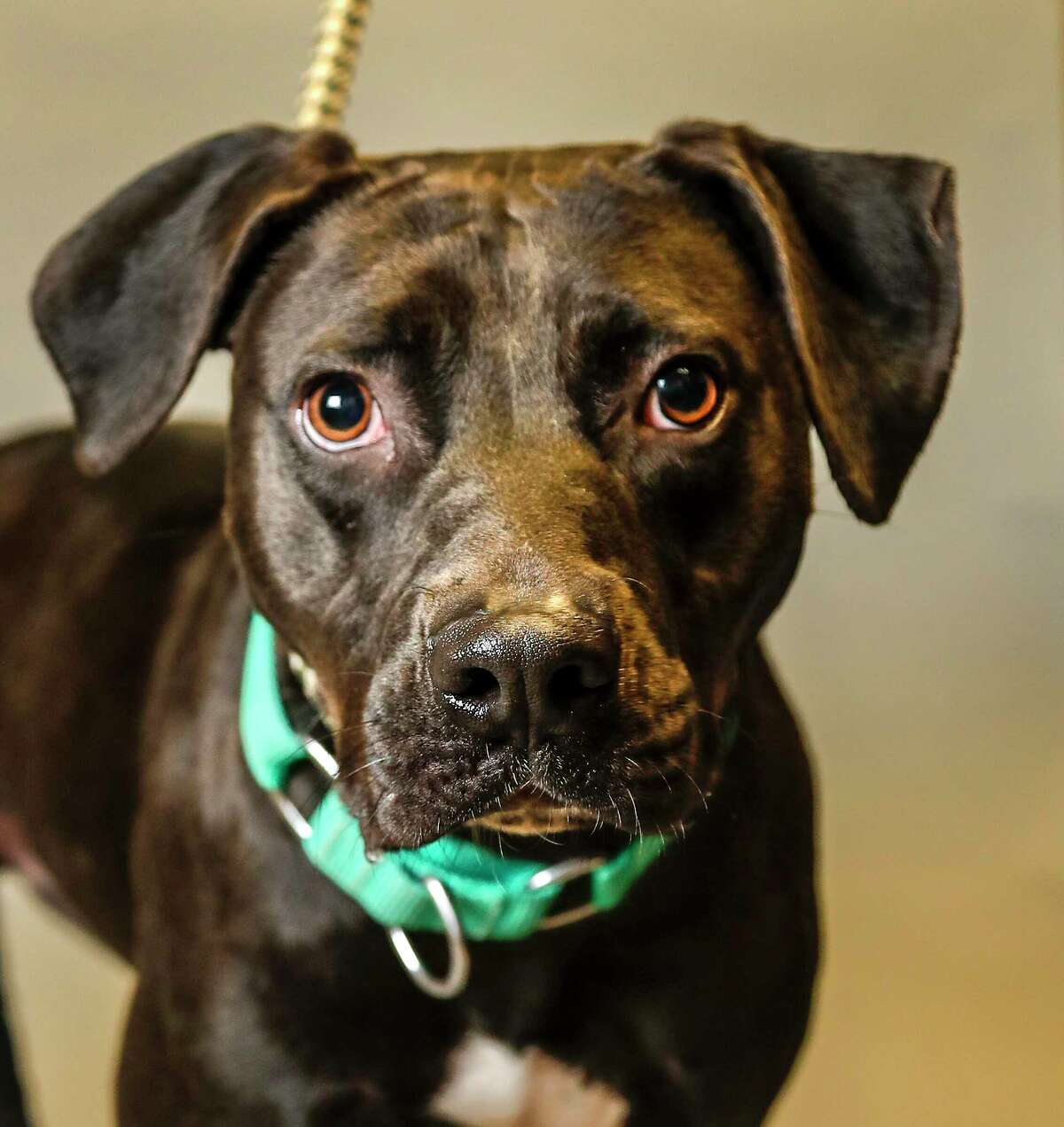 Alfredo is a 1 1/2-year-old, male, Labrador Retriever mix available for adoption at the Montgomery County Animal Shelter, in Conroe. (Animal ID: A312519) Photographed Tuesday, August 27, 2019. Alfredo is a social and fun dog, who loves being in doggie playgroups. Alfredo has been at the shelter for over 245 days, he was brought into the shelter as a puppy, and he has grown up here. He would love to get out and know how freedom feels.