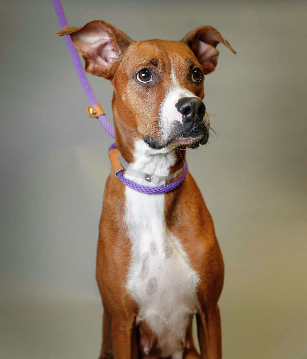 Tesla is a 4-year-old, female, red Rhodesian Ridgeback mix available for adoption at the Montgomery County Animal Shelter, in Conroe. (Animal ID: A321774) Photographed Tuesday, August 27, 2019. Tesla came into the shelter as a pregant mama in July. All of her puppies were adopted out, and now she's looking for a forever home.