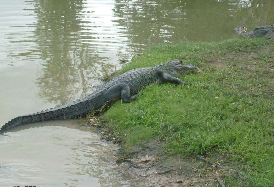 Alligators may look slow and lazy, but you cannot outrun one if it wants you. Photo: Larry J. LeBlanc
