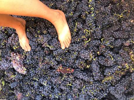 Freshly picked Syrah grapes, ready to be foot-stomped, at Frenchtown Farms in the Sierra foothills. Photo: Aaron Mockrish