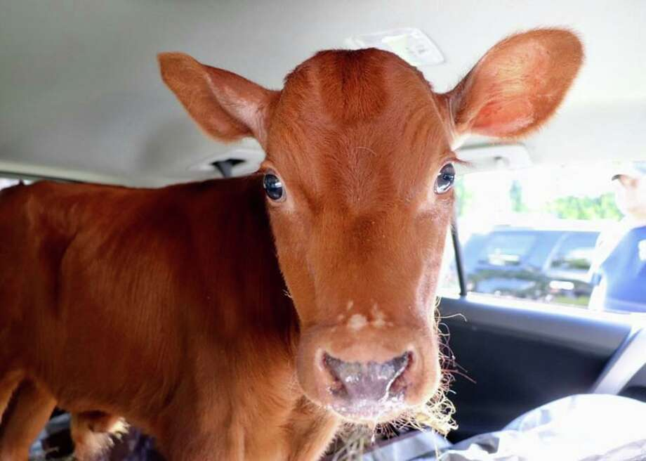 Prospero the cow was brought to Locket's Meadow Farm in Bethany earlier this week at 3 weeks old. Photo: Locket's Meadow Farm / Contributed Photo