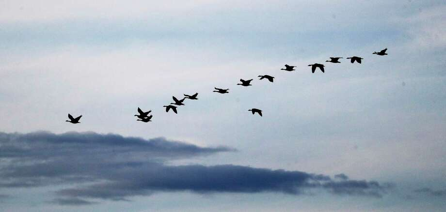 FILE PHOTO: Geese flying near Richland, Wash. on Aug. 14, 2019. Photo: Elaine Thompson / Associated Press / Copyright 2019 The Associated Press. All rights reserved