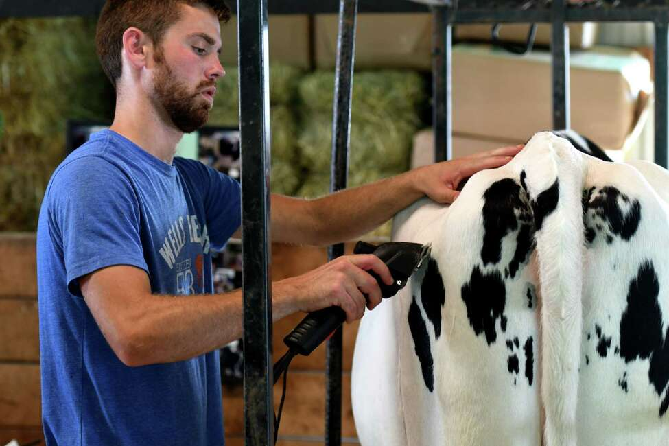 George Lamb of Johnsonville gives fresh trim to one the Holstein cows he's showing from Lamb-Hill Holsteins at the Schaghticoke Fair on Wednesday, Aug. 28, 2019, at the Schaghticoke Fairgrounds in Schaghticoke, N.Y. The fair runs through Monday from 10 a.m. to 10 p.m. (Will Waldron/Times Union)
