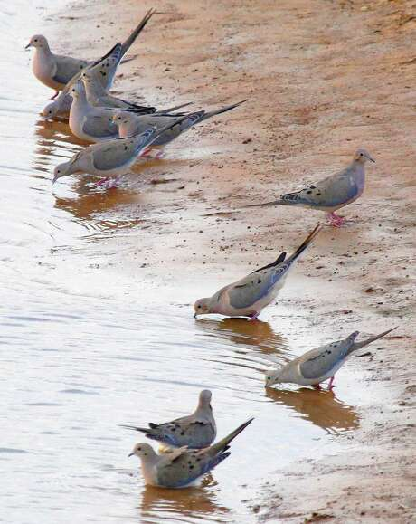 """Weeks of hot, dry weather promise to have thirsty mourning doves flocking to stock tanks and farm ponds, setting up conditions for Texas wingshooters looking to enjoy a classic """"water hole shoot' as the general dove season opens Sept. 1 in the state's Central and North zones. South Zone's general season opens Sept. 14."""