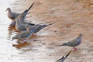 "Weeks of hot, dry weather promise to have thirsty mourning doves flocking to stock tanks and farm ponds, setting up conditions for Texas wingshooters looking to enjoy a classic ""water hole shoot' as the general dove season opens Sept. 1 in the state's Central and North zones. South Zone's general season opens Sept. 14."