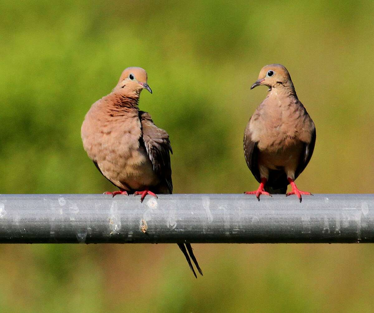 Mourning doves, Texas' most populous and popular game bird, enjoyed a year of outstanding habitat and nesting conditions.