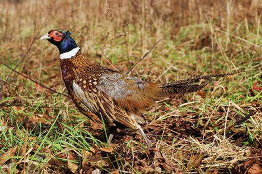 The state Department of Energy and Environmental Protection is looking to hire three to seven Seasonal Resource Assistants to work for its pheasant program to assist with ring-necked pheasant stocking across the state. Among the duties of the assistants is helping to stock 20,000 pheasants for the hunting season. Photo: Unknown