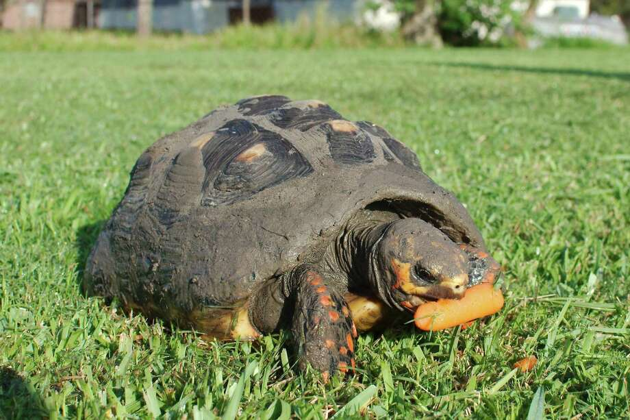 """Sunny,"" a South American redfoot tortoise, is one a many turtle and tortoises that live at the Lonesome Tortoise Ranch Rescue in Pearland. Brad Branum was inspired to start the facility because of a tortoise that helped him cope when he was in the military serving deployments in Iraq. ""He gave me the peace that nothing else had been able to give me,"" Branum says of that tortoise. Photo: Kirk Sides / Staff Photographer / © 2019 Kirk Sides / Houston Chronicle"