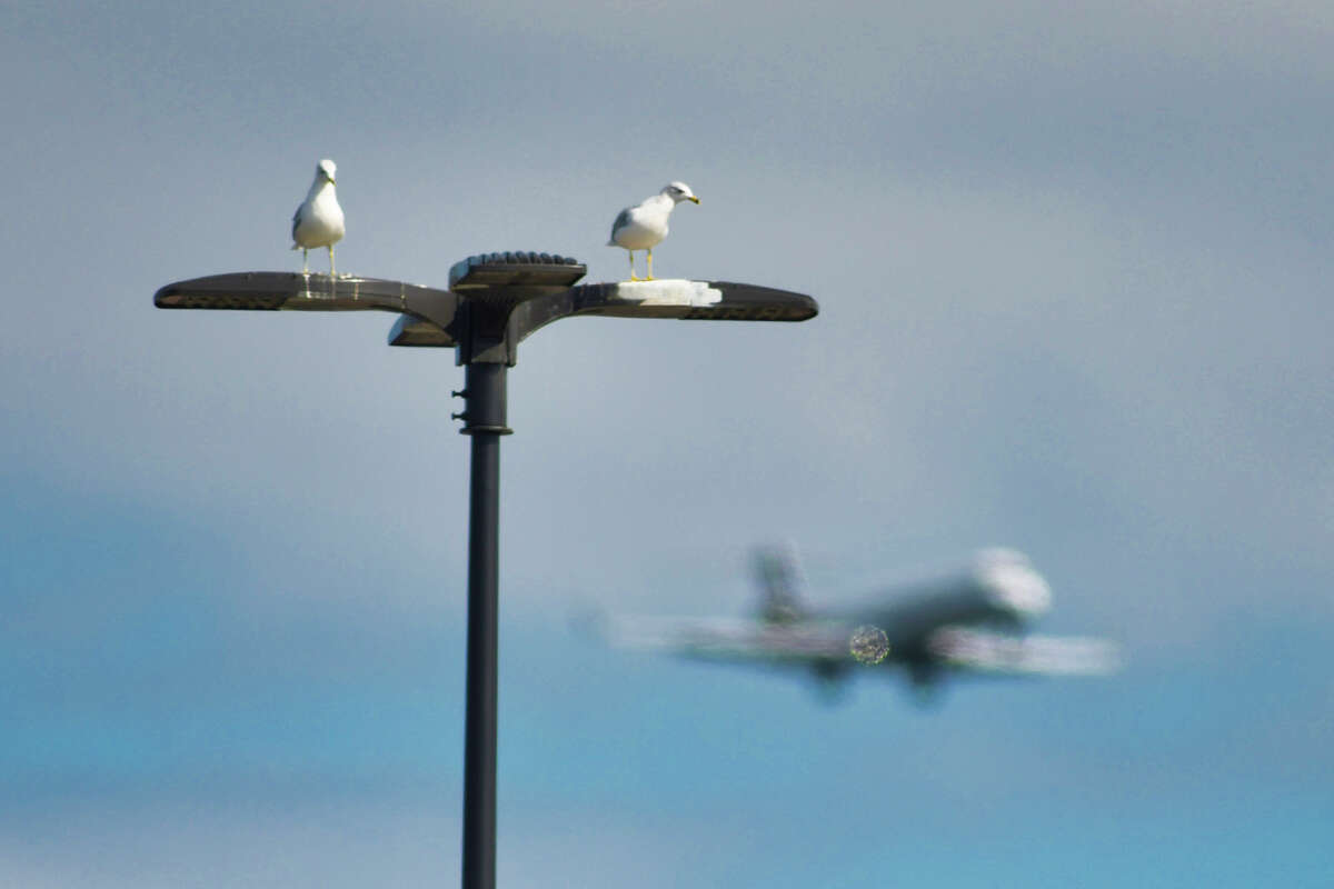 Two gulls sit on top of a light pole as a jet liner flies by on Thursday, Aug. 29, 2019, in Latham, N.Y. (Paul Buckowski/Times Union)