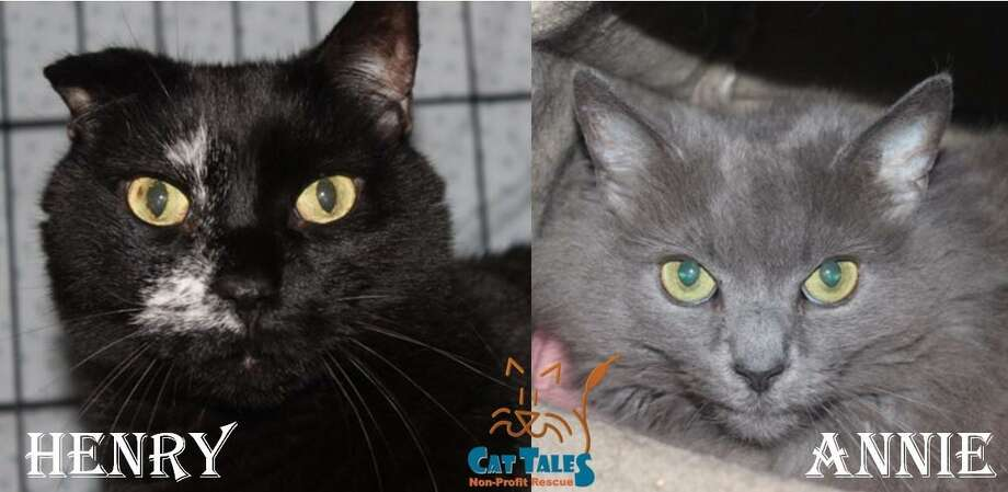 These are Henry, 6, and Annie, 2. They are indoor cats that were abandoned outside. They're very sweet, love attention and like when people speak softly while petting them. Henry is very outgoing and protective of Annie; and Annie is friendly when she know Henry is around. So they must be adopted together. Older children are okay, as long as they know how to take care of cats. They would love a home of their own, so come adopt them today. Visit http://www.CatTalesCT.org/cats/Annie, call 860-344-9043, email: info@CatTalesCT.org. Watch our TV commercial: https://youtu.be/Y1MECIS4mIc Photo: Contributed Photo /
