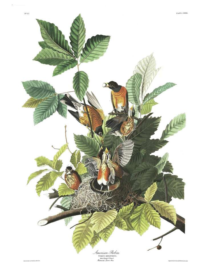 John James Audubon's rendering of the American robin. Photo: Contributed Photo