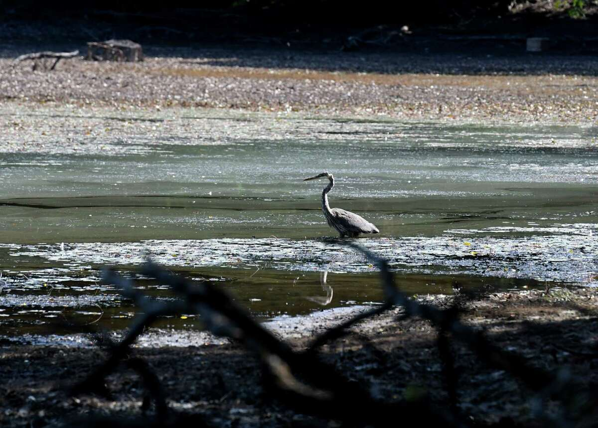 A great blue heron picks through the remains of Lake Ida on Friday, Aug. 30, 2019, in Troy, N.Y. The city is demolishing a dam which created the lake. (Will Waldron/Times Union)