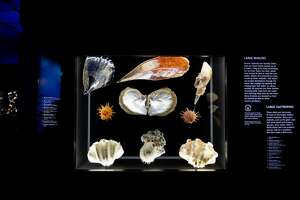 HMNS has brought back the George W. Strake Hall of Malacology. The exhibit features over 1,300 shell and marine life specimens, with a heavy focus on ocean conservation.