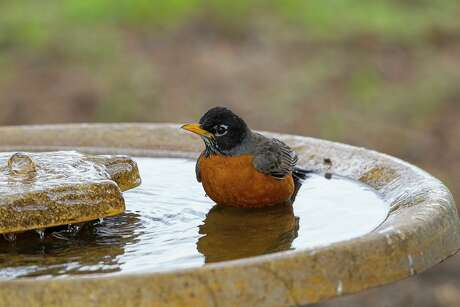 Homeowners can help birds like this American robin stay cool by installing a birdbath with a shallow bowl and rough surface.