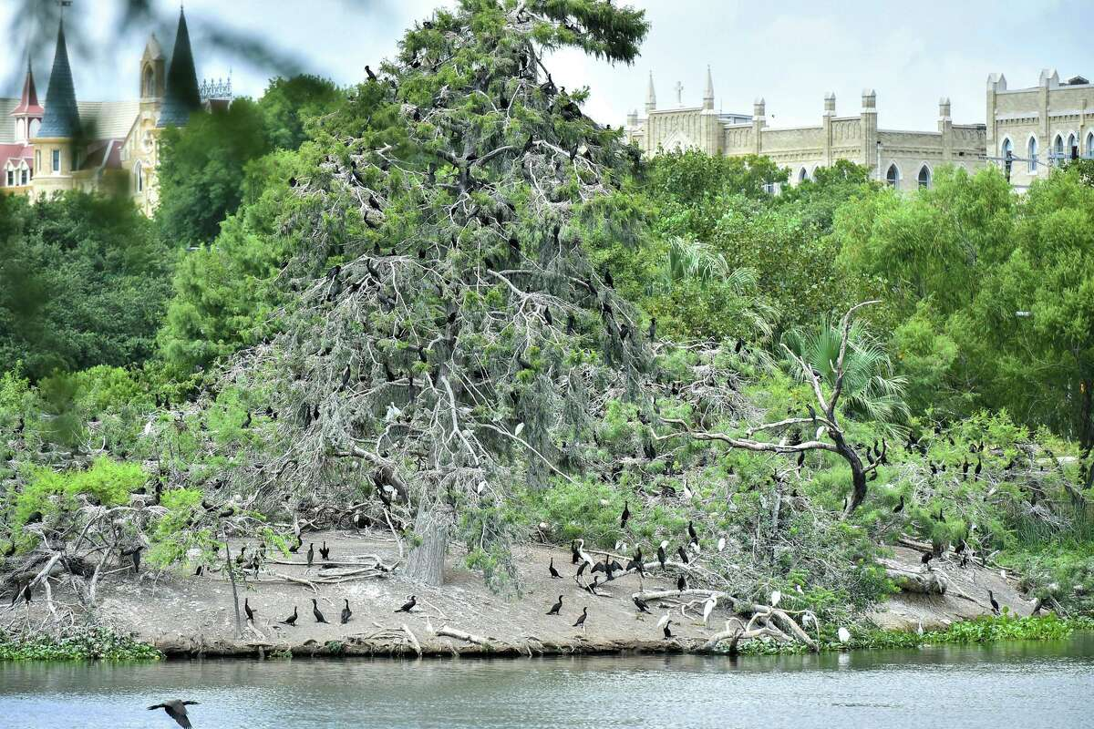 Birds sit in a tree on Bird Island in Elmendorf Lake near Our Lady of the Lake University. Tree trimming and cutting of underbrush to reduce the canopy on the island by at least 50 percent is set to begin Monday.