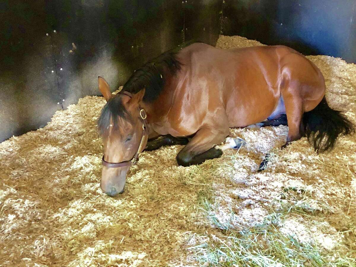 After making a four-hour journey from Parx Racing, what do you feel like doing? Why, sleep, of course. That's what Forewarned was doing on Friday, a couple days after be made the journey from the Philadelphia area. The 4-year-old colt was catching 40 winks in his stall while trainer Uriah St. Lewis, who drove the van up here, stood watch outside. This is the second Spa trip for Forewarned, who was fifth in the Whitney Stakes on Aug. 3. (Tim Wilkin / Times Union)