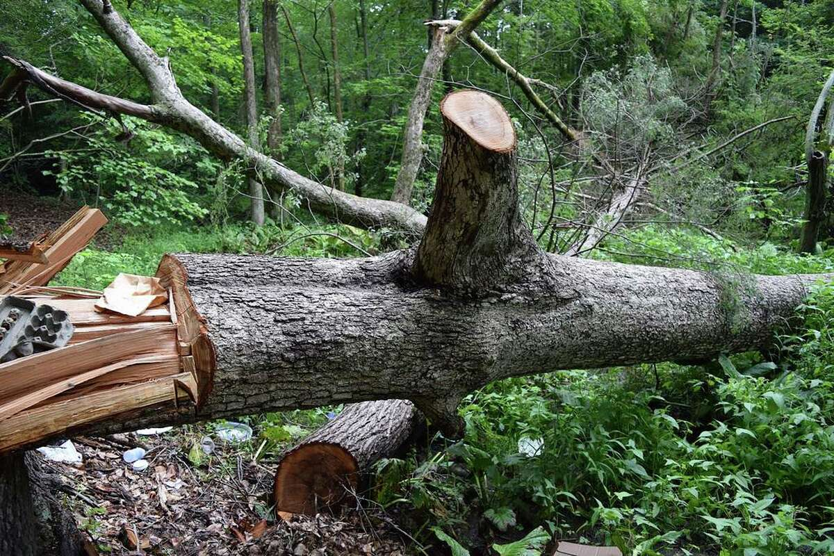 """In this Thursday, July 18, 2019 photo, provided by David G. Johnson of the Hamden Historical Society, the damaged remains of the historic 200-year-old """"Door Tree"""" lies on the ground, in Hamden, Conn. Connecticut authorities say the person responsible for cutting down the tree with a chainsaw on July 18 has been arrested. The historical society says the tree was first photographed in 1898. (David G. Johnson/Hamden Historical Society via AP)"""
